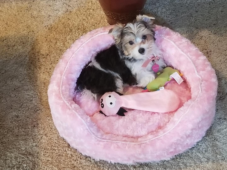 Yorkshire Terrier Puppies for Sale | PuppySpot