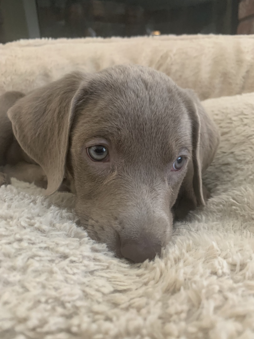 Labrador Retriever Puppies for Sale | PuppySpot