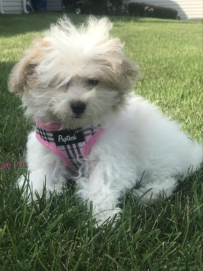 Havapoo Puppies for Sale | PuppySpot