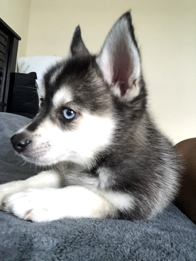 Pomsky Puppies for Sale | PuppySpot