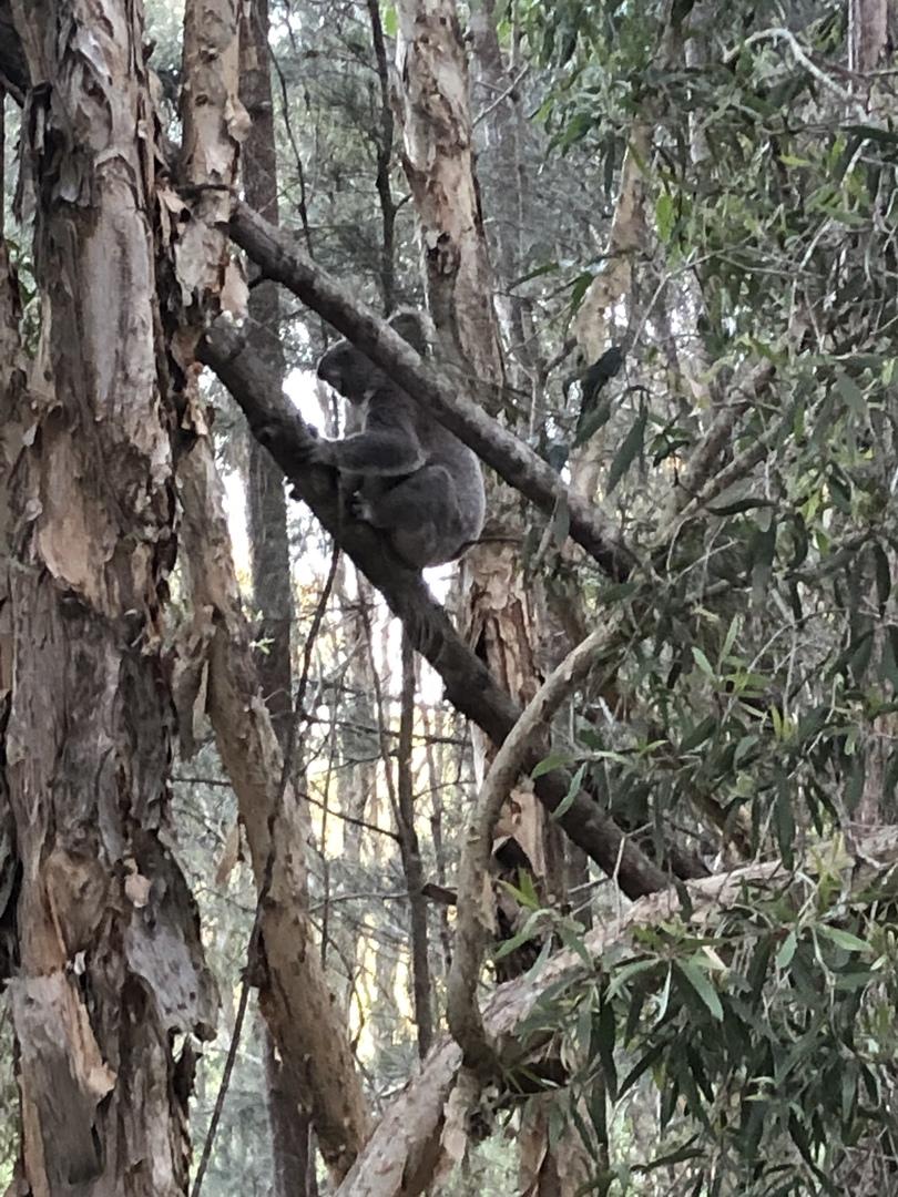 8月にこのツアーに参加しました。 野生のカンガルーとコアラを見ましたが、自然にあふれておりオーストラリアに来たんだという実感が沸きました。 また食事も大きいヒラメかお肉を選べます。 大変美味しく、大満足です。 そしてメインの土ボタルも、神秘的な場所で見てとても感動しました。 何よりガイドさんが詳しく面白く常にお話しされており、とっても楽しかったです!!