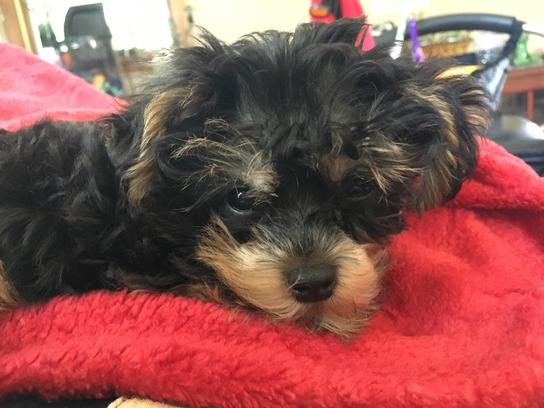 Yorkiepoo Puppies for Sale | PuppySpot