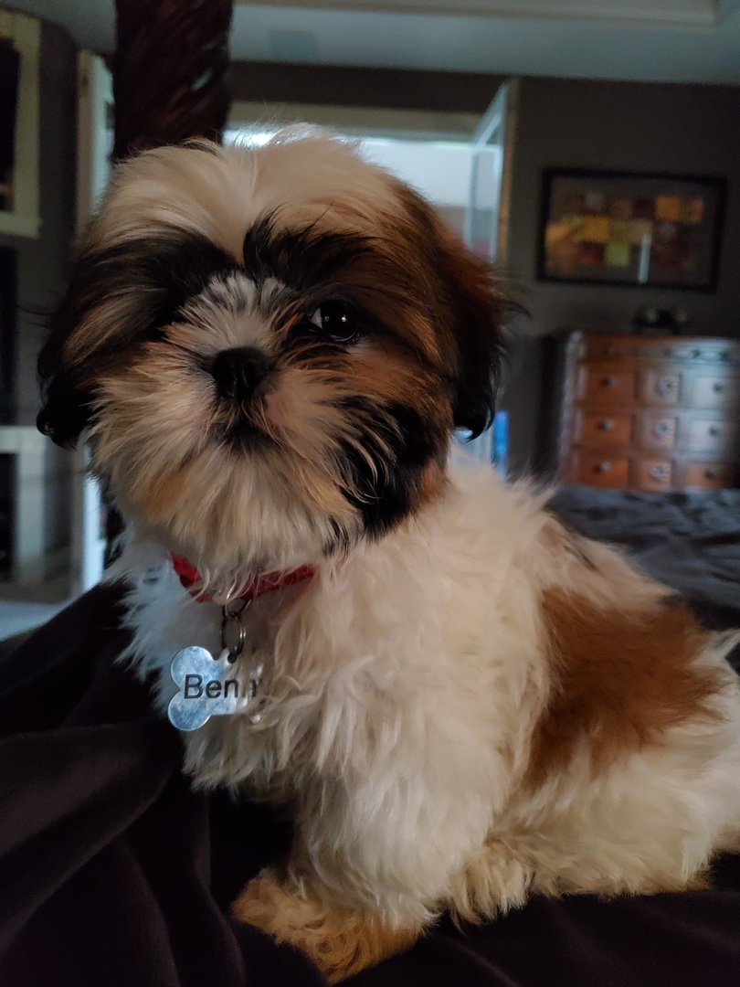 Shih Tzu Puppies for Sale | PuppySpot