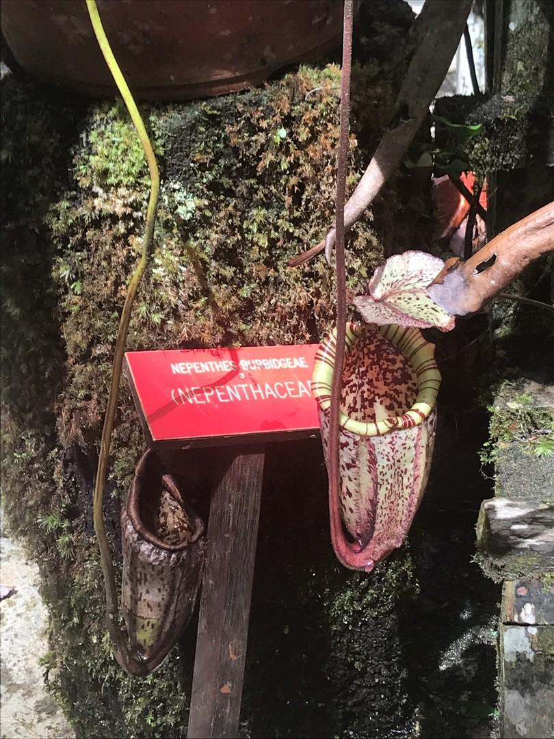 途中に寄ったナバル村からはキナバル山の山頂まで見渡すことができました。圧巻!!また、キナバル公園では日本では見られない熱帯植物を間近で見ることができました。トレッキングのコースもきちんと整備されており、歩きやすかったです。ガイドの方も日本語が上手で、説明も興味をもって聞くことができました。今回は天候に恵まれていたため非常に楽しめました。