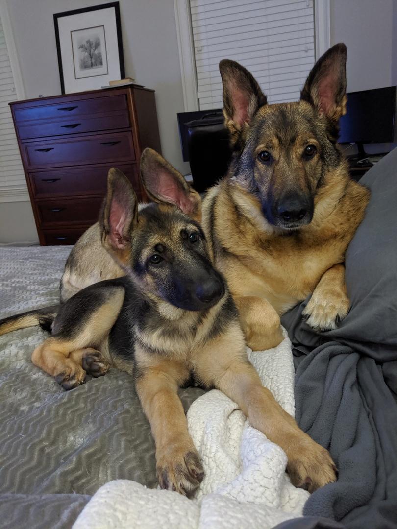 German Shepherd Dog Puppies for Sale   PuppySpot