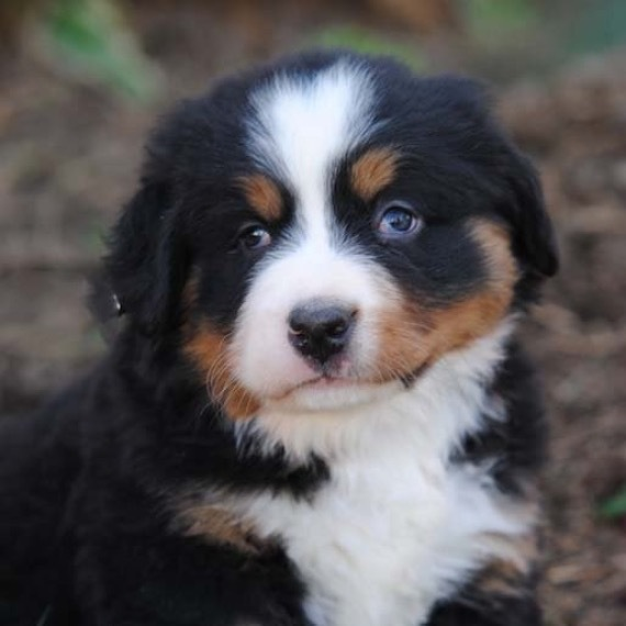 Bernese Mountain Dog Puppies For Sale Puppyspot