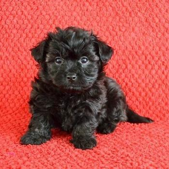 Maltipoo Puppies for Sale | PuppySpot