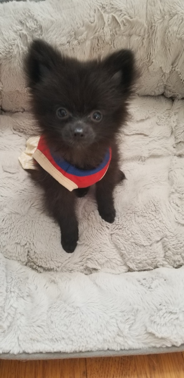 Pomeranian Puppies for Sale | PuppySpot