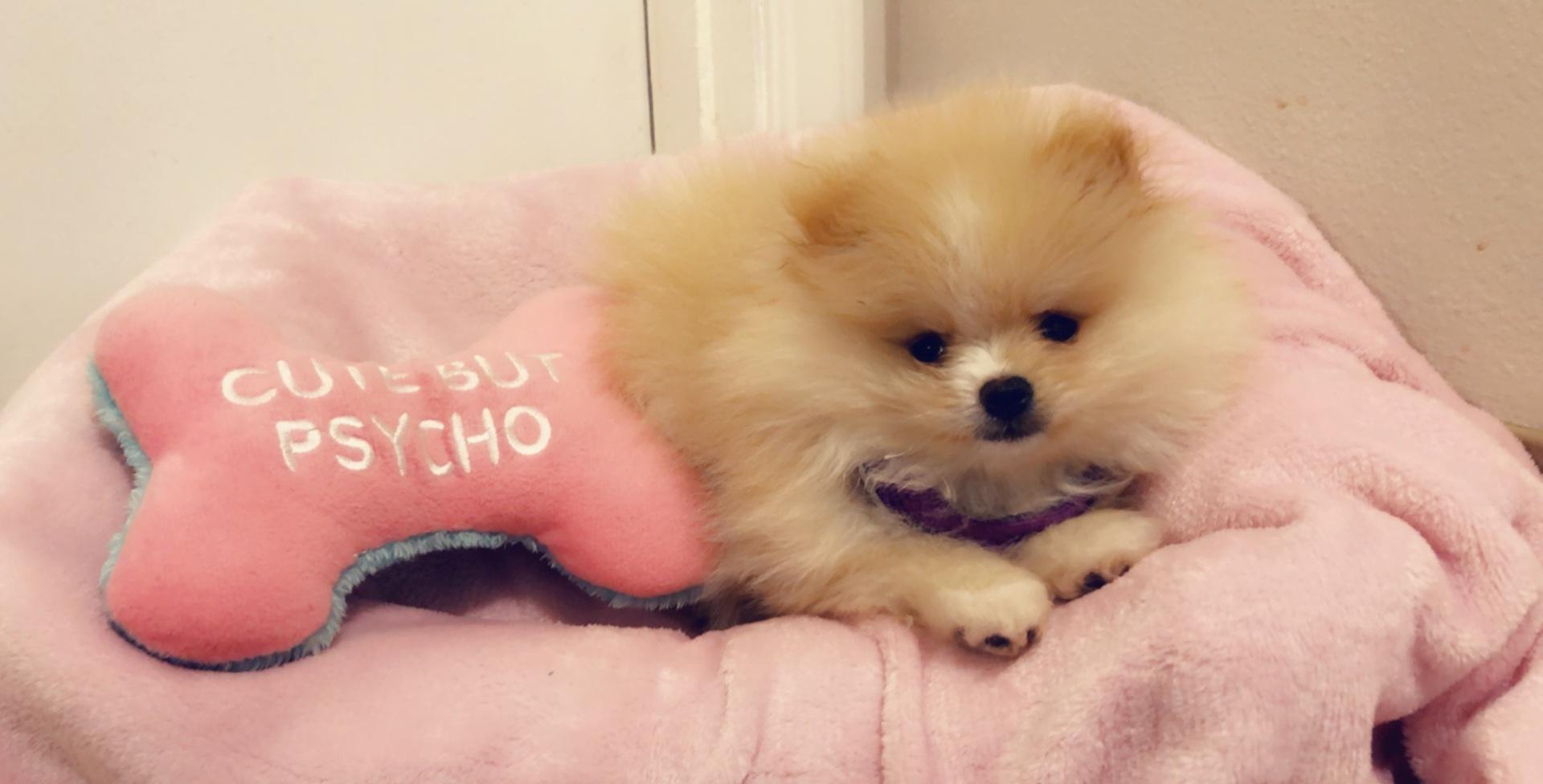 Pomeranian Puppies for Sale | PuppySpot