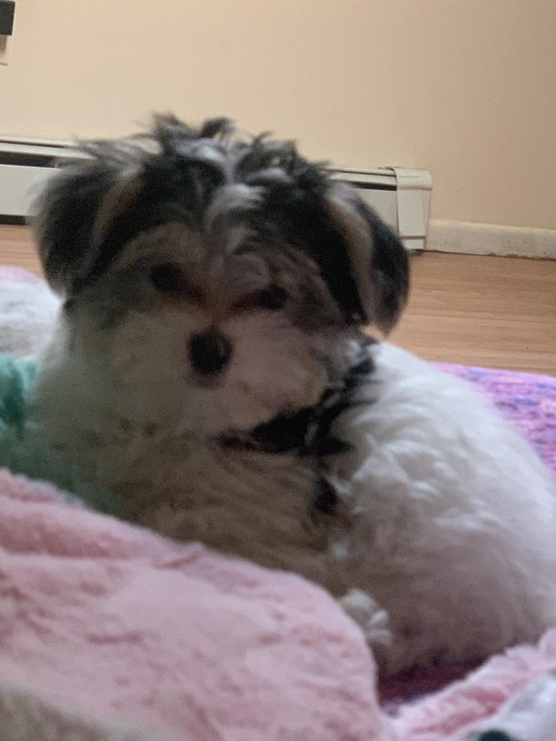 Morkie Puppies for Sale | PuppySpot