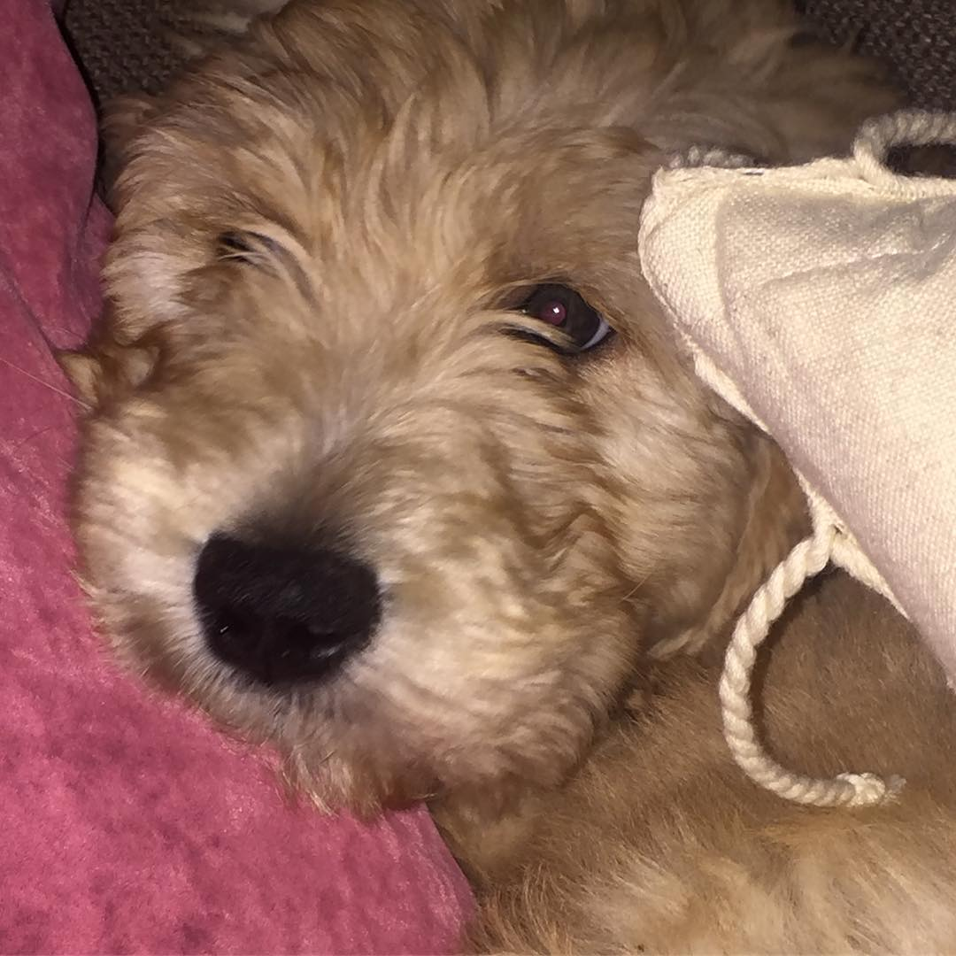 Goldendoodle Puppies for Sale | PuppySpot